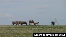 Ақмола облысындағы мал жайылымдарының бірі. (Көрнекі сурет)