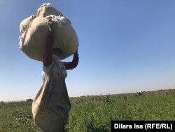 Сборщица хлопка, приехавшая из Узбекистана. Туркестанская область, 2 октября 2018 года.