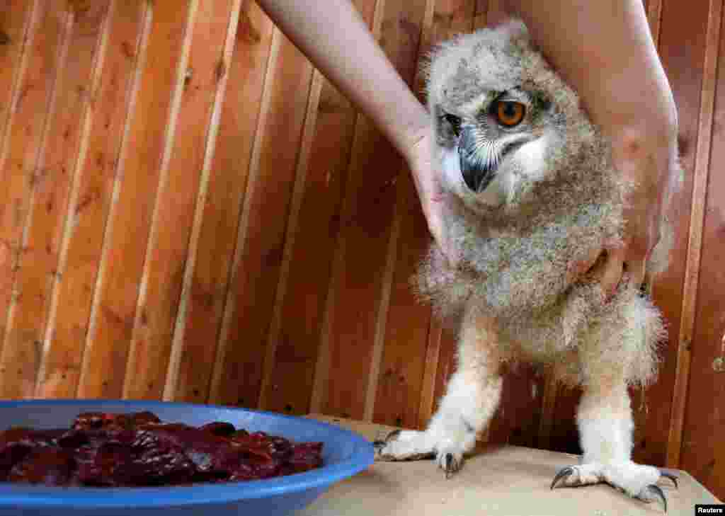 A zoo employee feeds a three-week-old Eurasian eagle owl at the Royev Ruchey zoo in the Siberian city of Krasnoyarsk, Russia. (Reuters/Ilya Naymushin)