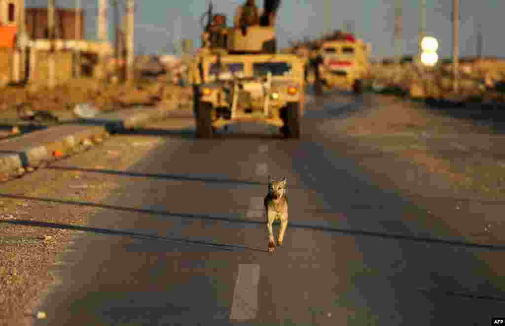 A dog runs in front of Iraqi Army armored vehicles near Ramadi, the capital of Anbar province, on February 2. (AFP/Ahmad Al-Rubaye)