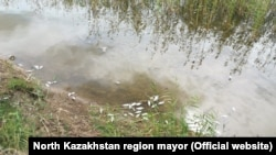 Тушки карася на берегу озера Тулумбай в Северо-Казахстанской области.