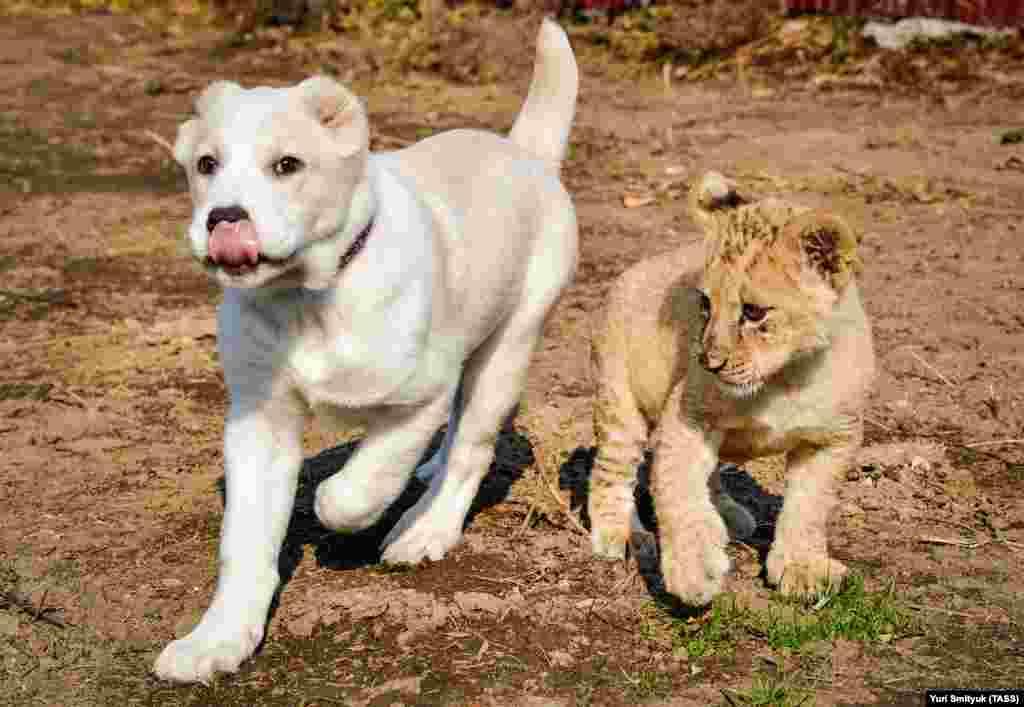 У Эльзы, по словам сотрудников зоопарка, уже есть опыт воспитания больших кошек – тигренка и львенка (это фото сделано в 2017 году).
