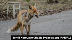 Дика лисиця на вулицях Прип'яті, весна 2015 року