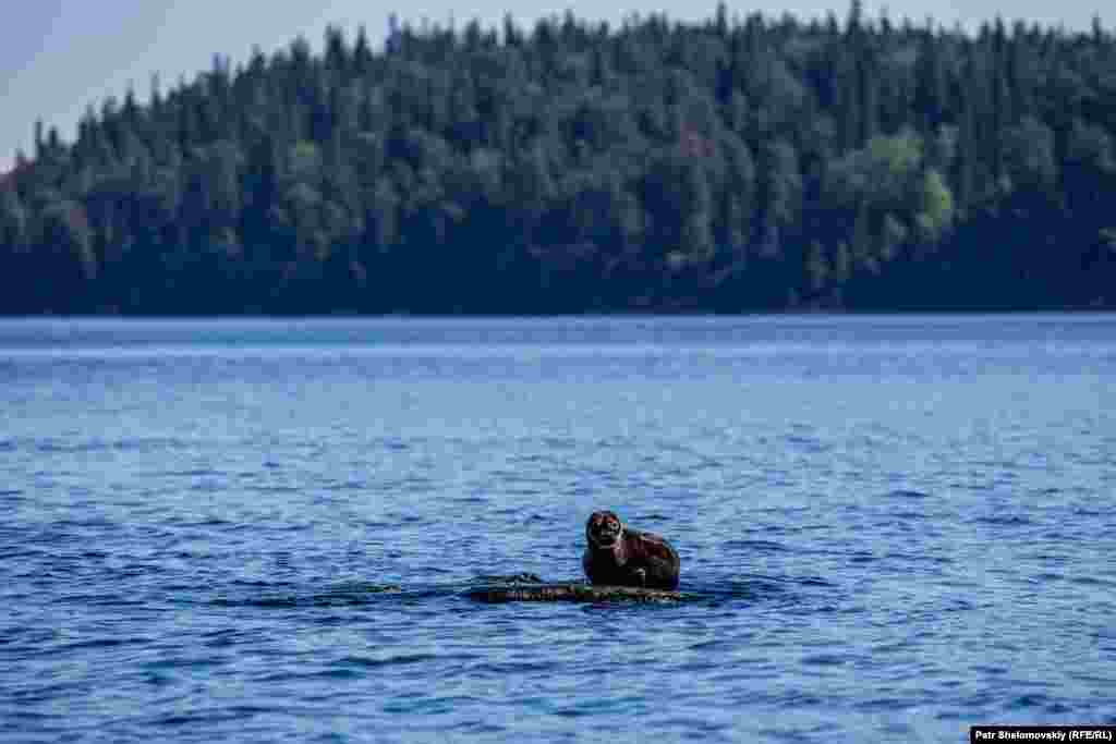 A Baikal seal, also known as a nerpa, near Valaam Island