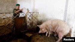 Беларсутагы чочко фермасы