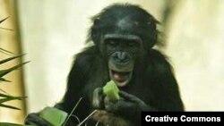 Բոնոբո կապիկ, արխիվ
