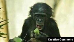 Бонобо (фото: Аарона Логана)