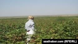 Хлопковое поле, Туркменистан