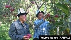 Кыргызские фермеры демонстрируют свой урожай яблок. Ошская область, 8 октября 2015 года.