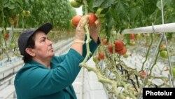 Күнөсканада өскөн помидор. Армения