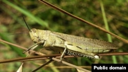 According to one official, around a million hectares of land in southern Russia is infested with locusts. (file photo)