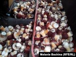 Самый ходовой товар у сборщиков дикоросов в этом году - белые грибы