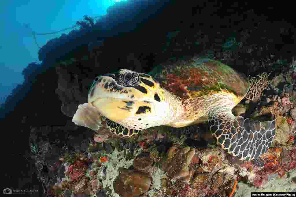 """I was born and raised in Almaty, a former capital of Kazakhstan, which is a landlocked country with some high mountain lakes and the Caspian Sea far out in the west,"" Kulagina says. (pictured: sea turtle)"