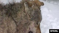 Этот волк уже застрелен и стал добычей охотника. Жанаталан, 22 февраля 2009 года.