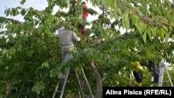 Збирання врожаю черешні у Молдові