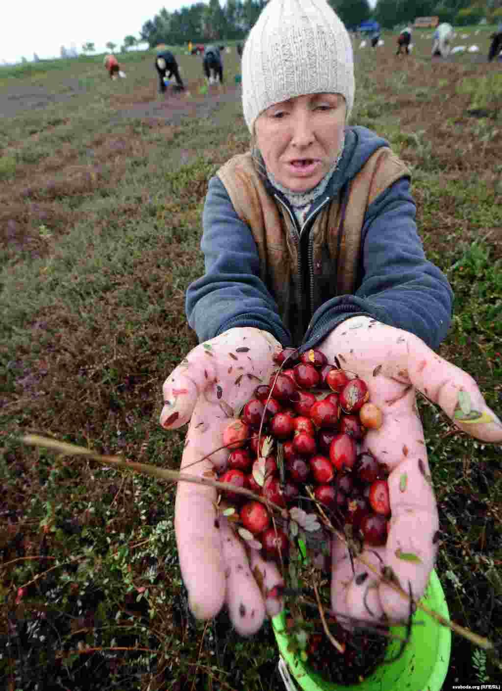 """На """"элитных"""" плантациях все происходит ровно наоборот: когда приходит время сбора урожая, с плантаций-чеков сливают воду, а ягоду собирают вручную."""