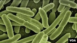 Увеличенное под микрскопом изображение кишечных бактерий