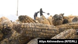 Старый урожай кукурузы, собранный в Панфиловском районе.