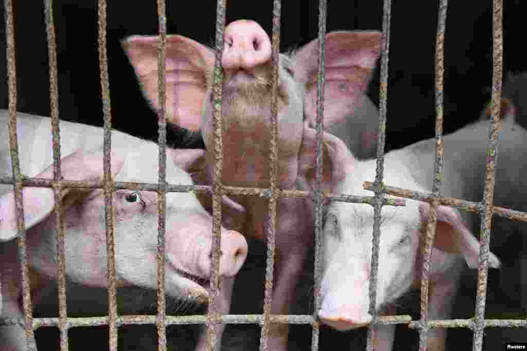 БУГАРИЈА - Ветеринарните служби во Бугарија, поради кризата со африканската свинска чума наредија колење на огромен број свињи. Станува збор за различни региони во целата земја.