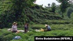 Чай плантациясы. Ризе облусу. 2020-жыл.
