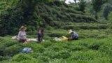 Чайная плантация в провинции Ризе, Турция. Май 2020 года.