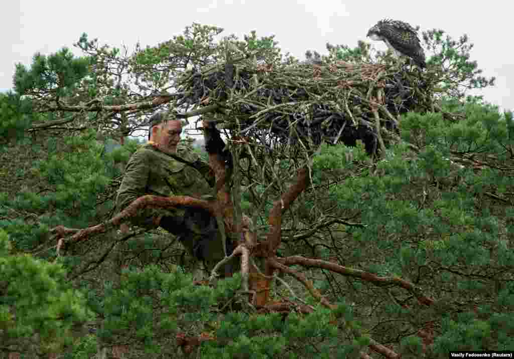 Ivanouski climbs a tree to see a nest of osprey chicks while monitoring various nests of birds of prey in a marsh near the northwestern village of Kazyany.