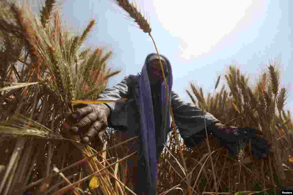 An Egyptian farmer harvests wheat in the El-Menoufia governorate, north of Cairo. Egypt's wheat crop will be close to 10 million tons this season, Agriculture Minister Salah Abdel Momen said, more than the 9.5 million tons that were forecast. (Reuters/Mohamed Abd el-Ghany)