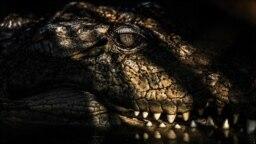 Iran -- Mugger crocodile (Gandu, Gandoo) in of southeast Iran.