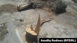 Azerbaijan - trees are cut in Baku, Gunashli district