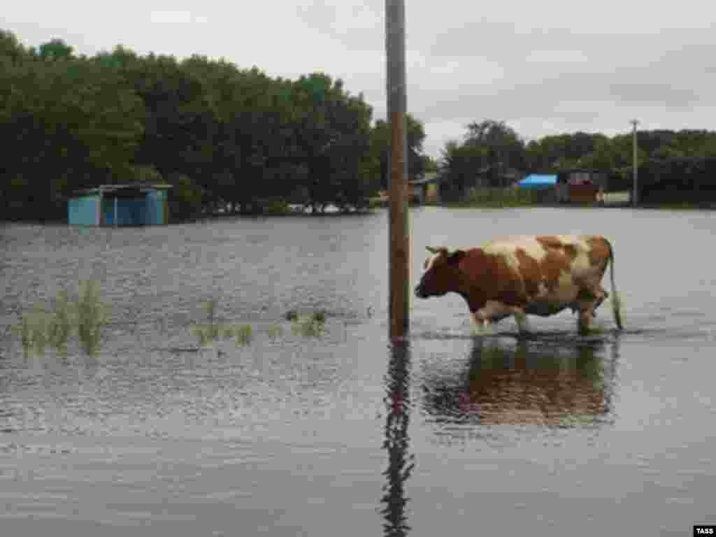 A cow wades through floodwaters in Birobidzhan, the Jewish Autonomous Oblast in Russia's Far East.