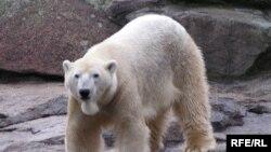 Белый медведь в Берлинском зоопарке