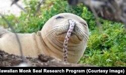 Гавайский тюлень с угрем в носу