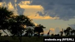 Zsiráfok egy nemzeti parkban Kenyában, 2012. december 16.