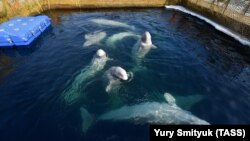 The marine animals, which routinely travel tens of kilometers a day in the wild, have been kept in small pens -- as these belugas are.