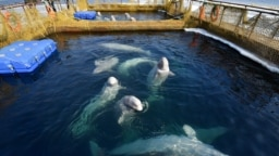 Captive beluga whales swim in a pool in the Russian Pacific region of Primorye.