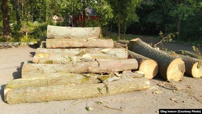 Придорожные аллеи уничтожают ради древесины