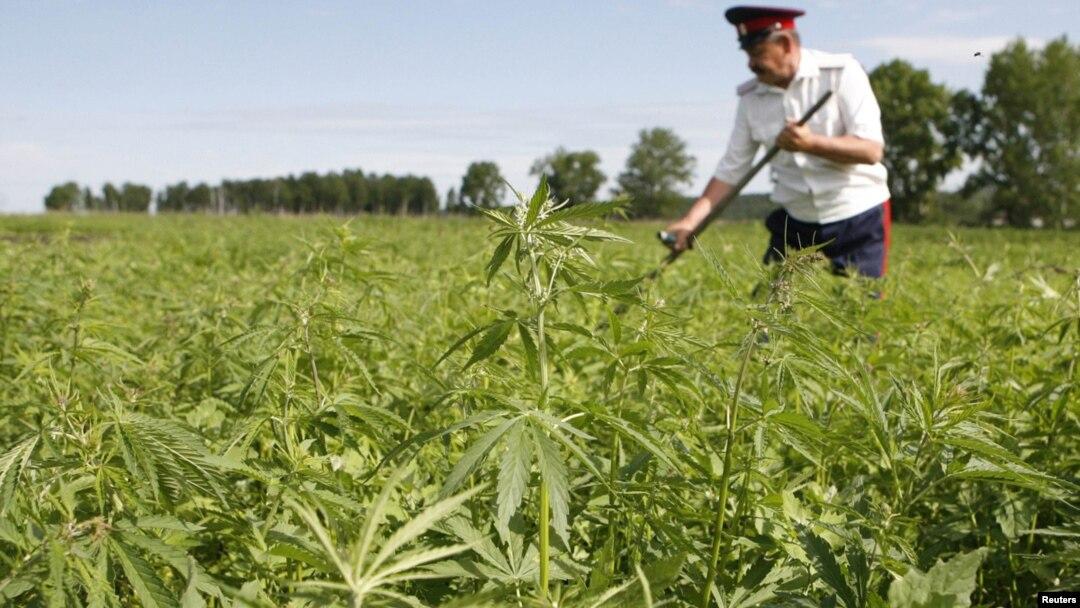 Легализуйте марихуану и все признаки курения конопли