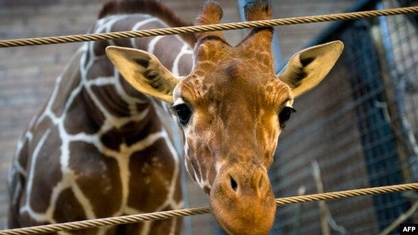 Жираф Мариус, которого застрелили в датском зоопарке и в присутствии посетителей провели вскрытие. Копенгаген, 7 февраля 2014 года.