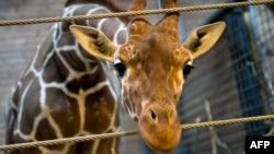Жираф Мариус, убитый в Копенгагенском зоопарке