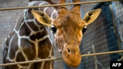 Kadyrov's comments come after a perfectly healthy young giraffe named Marius was shot dead by a Copenhagen zoo at the weekend.