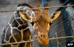 Даниядағы зоопаркте әуелі атып жансыздандырып, соңынан арыстанға жемтік еткен Мариус атты керік. Копенгаген, 7 ақпан 2014 жыл.