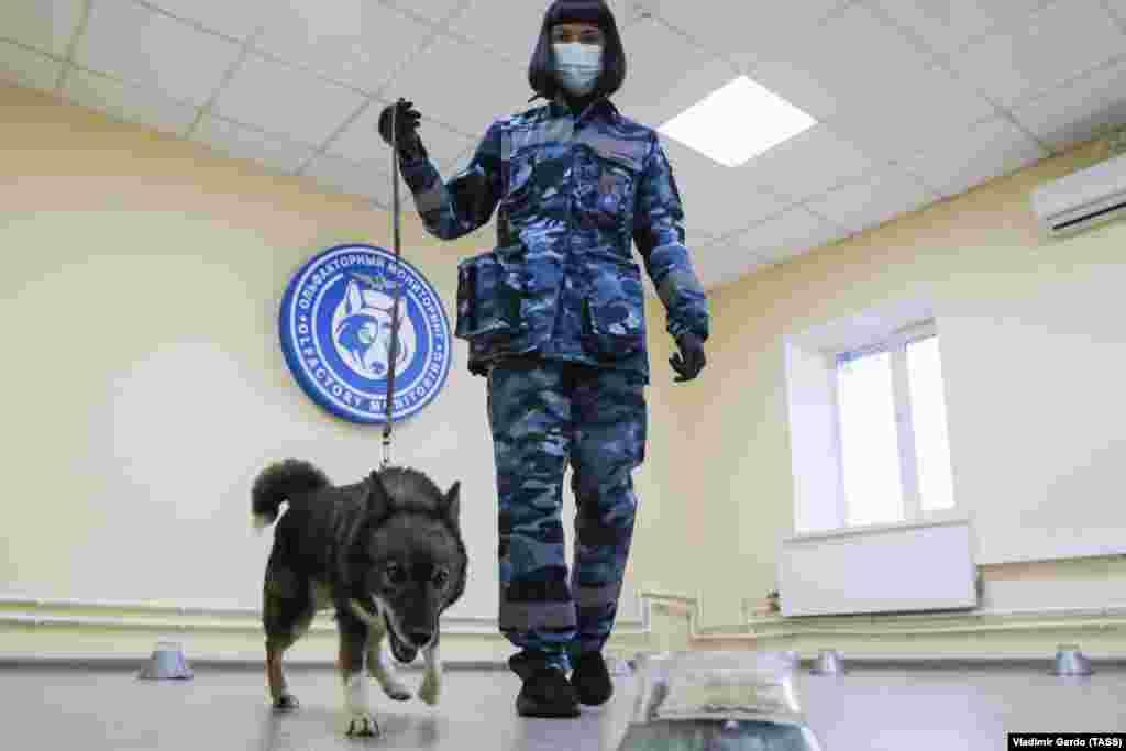Треньор с предпазно облекло обучава куче да открива хора с коронавирус на летище Шереметиево в руската столица.