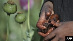 Уборка урожая опиума в провинции Гельменд. Афганистан, 25 апреля 2011 года.
