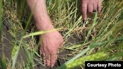 20 процентов посевов зерновых в России погибли из-за засухи.