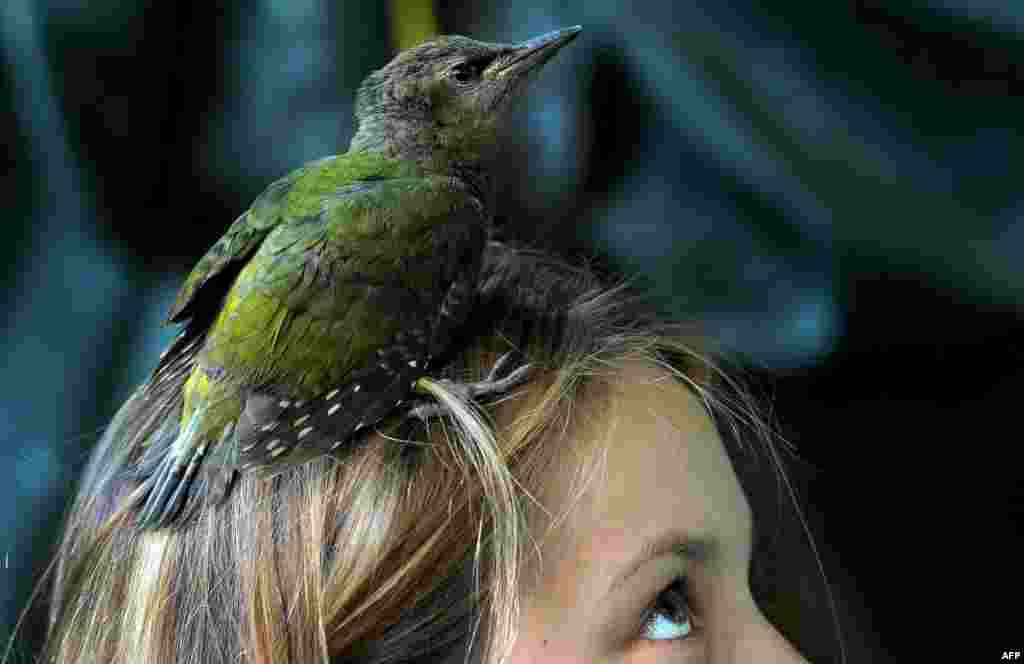 A grey-headed woodpecker chick perches on a girl's head near the village of Vasilyevskoye, some 90 kilometers west of Moscow. (AFP/Sergei Gapon)