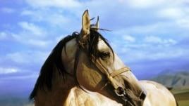 An Akhal-Teke horse