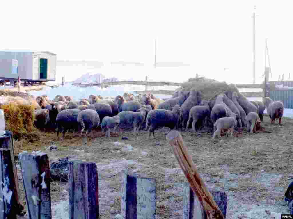 Зур Тигәнәле авылындагы Әсгать Гатинның шәхси хуҗалыгы. Ул сарык, мөгезле терлек үрчетә, ике кибете бар