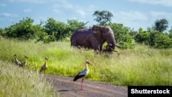 Аисты и африканский слон в национальном парке Крюгера, Южная Африка.
