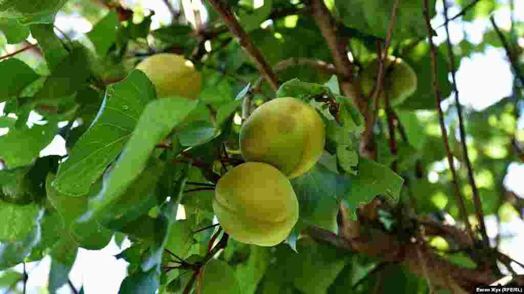 На деревьях зреют абрикосы