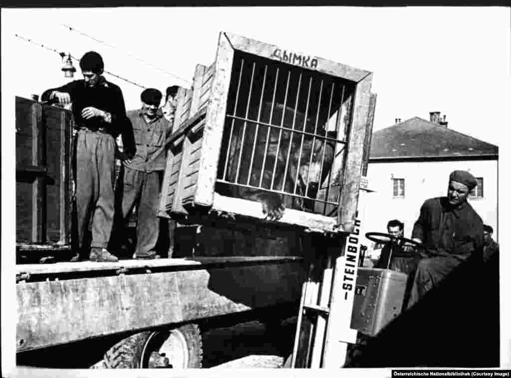 A bear called Smoky being unloaded by workers from the Russian state circus in Vienna in 1958, after the Allies had withdrawn following some deft Austrian diplomacy. One condition for the Soviet departure was for Austria to vow it would never join NATO, a pledge the country has honored.
